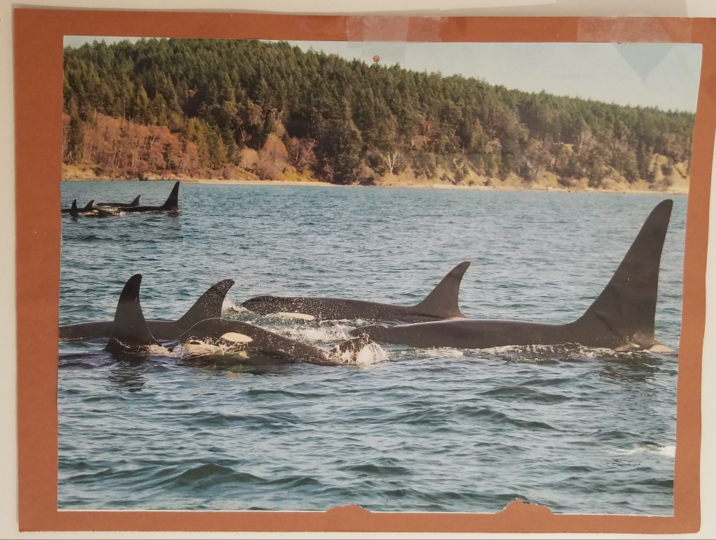 two pods of Orcas swim in the pacific northwest