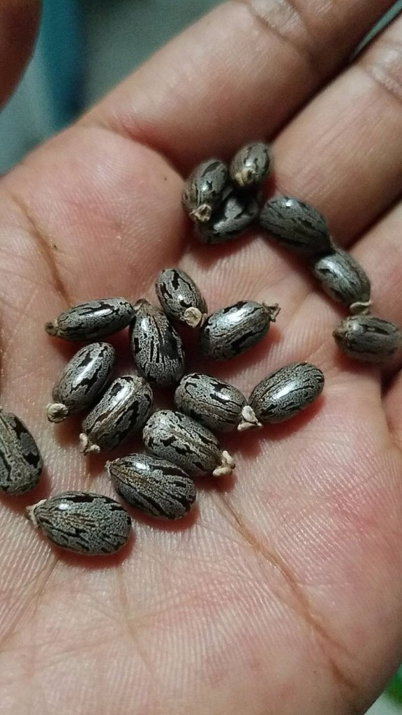 18 Castor Seeds in my palm. Each seed is shiny gray with black inkings